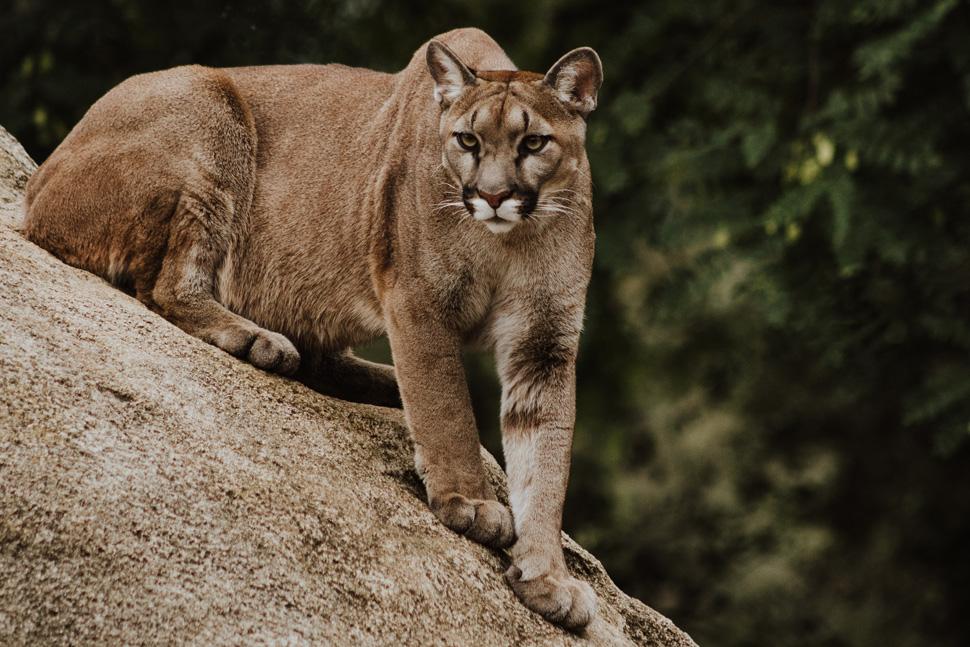 970-mtn-lion.jpg