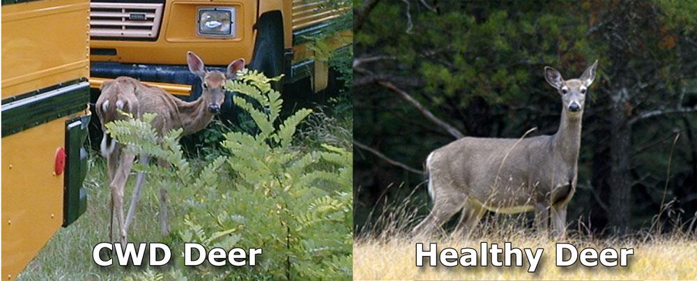 CWD+deer+-+healthy+deer+comparison.jpg
